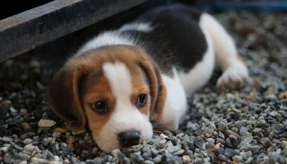 Best Family Dogs If You're Planning On Getting A Pet