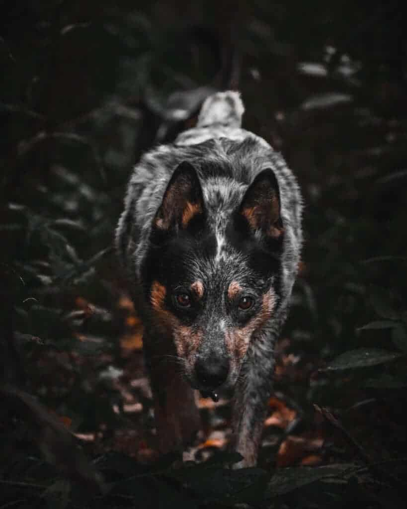 Dogs Characteristics: The Sherlock Holmes Of Police Dogs