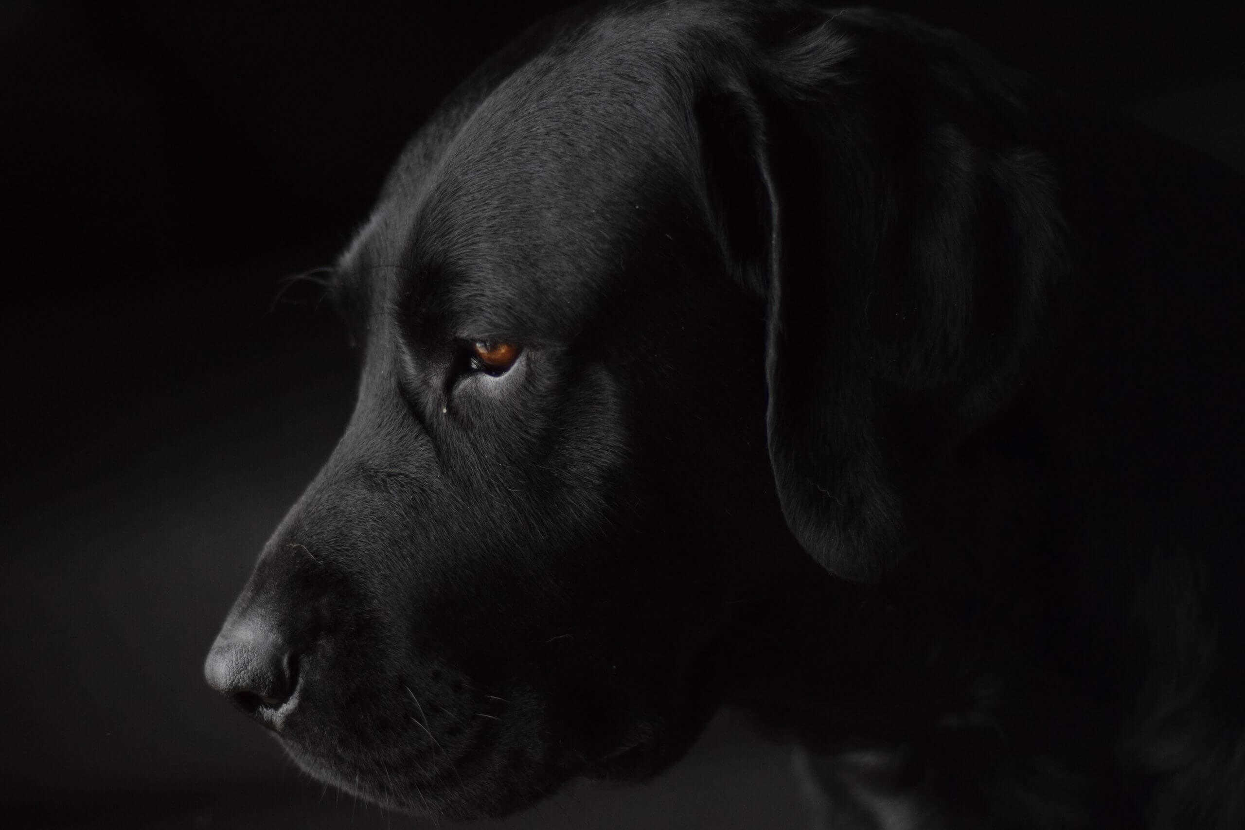 Chocolate Labs Are Less Healthy Than The Black And Yellow Puppy Pals