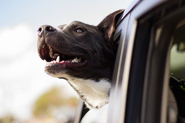 A close up of a dog sticking his head out of a car