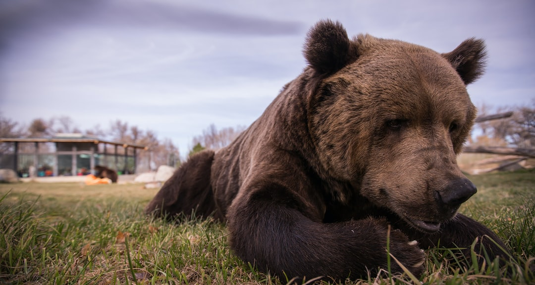 A brown bear lying on top of a grass covered field