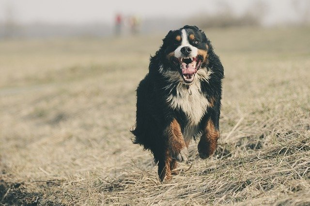 A dog standing on a dry grass field